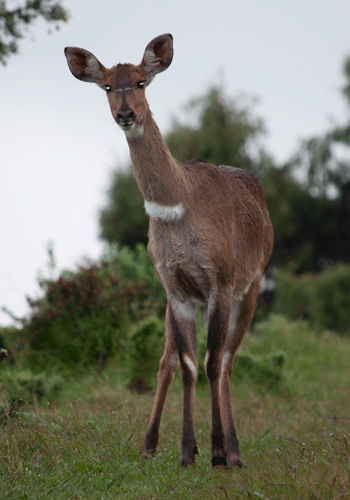 Menelik's Bushbuck in Bale Mountains National Park.