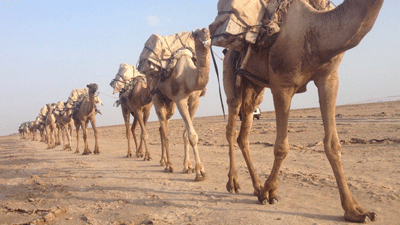 Camel caravan crossing the Danakil.