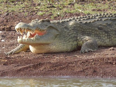 Crocodile on Lake Chamo.