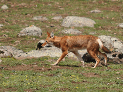 Ethiopian Red Wolf.