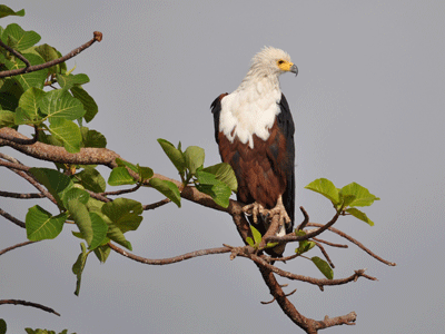 African Fish Eagle on Lake Tana.