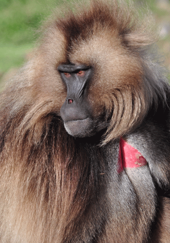 The Gelada, endemic to Ethiopia