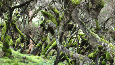 Harenna Forest in the Bale Mountains.