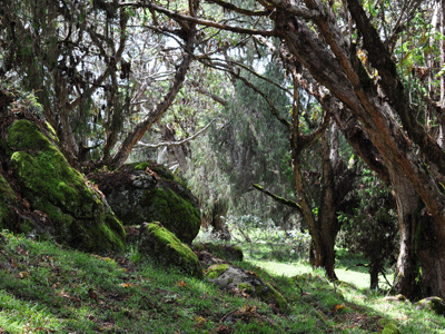 Juniper forest in the Bale Mountains.