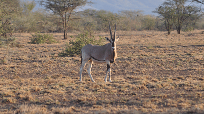 Oryx in Awash Park
