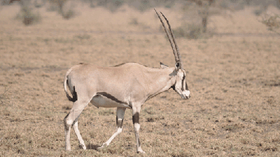 Oryx in Awash National Park.