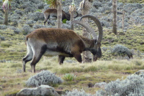 Walia Ibex in the Simien Mountains.